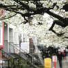カナダ・バンクーバーでお花見!!観光にお勧めの桜散策スポットパート1【バラード駅