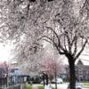 カナダ・バンクーバーでお花見!!観光にお勧めの桜散策スポットパート2【29th Avenue