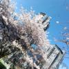 カナダ・バンクーバーでお花見!!観光にお勧めの桜散策スポットパート3【ダウンタウ