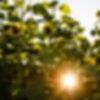 TICKETS | Sunflower Fest